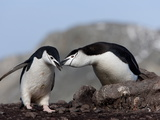 Chinstrap Penguins (Pygoscelis Antarctica), Aitcho Island, Antarctica, Polar Regions Photographic Print by Thorsten Milse
