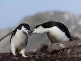 Chinstrap Penguins (Pygoscelis Antarctica), Aitcho Island, Antarctica, Polar Regions Photographic Print by Thorsten Milse