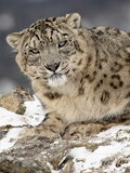 Snow Leopard (Uncia Uncia) in the Snow, in Captivity, Near Bozeman, Montana, USA Photographic Print