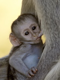 Infant Vervet Monkey (Chlorocebus Aethiops) Nursing, Kruger National Park, South Africa, Africa Photographic Print