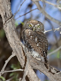 Pearl Spotted Owlet (Glaucidium Perlatum), Kgalagadi Transfrontier Park, South Africa, Africa Photographic Print by Ann & Steve Toon