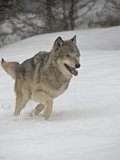 Gray Wolf (Canis Lupus) Running in the Snow in Captivity, Near Bozeman, Montana Lámina fotográfica
