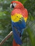 Scarlet Macaw, Honduras, Photographic Print