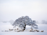 Northumberland Blackface Sheep in Snow, Tarset, Hexham, Northumberland, England, United Kingdom Photographic Print by Ann &amp; Steve Toon