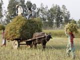 Mustard Plant Harvest, Haridwar, Uttarakhand, India, Asia Photographic Print