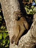 Chacma Baboon (Papio Ursinus) in a Tree, Kruger National Park, South Africa, Africa Photographic Print