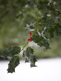 Close-Up of a Holly Tree, London, England, United Kingdom, Europe Photographic Print by Michael Kelly