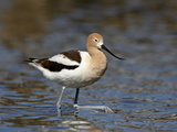 American Avocet (Recurvirostra Americana), Belmar Historic Park, Lakewood, Colorado Reproduction photographique