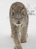Canadian Lynx (Lynx Canadensis) in Snow in Captivity, Near Bozeman, Montana Reproduction photographique