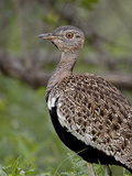 Male Black-Bellied Bustard (Eupodotis Melanogaster), Kruger National Park, South Africa Photographic Print