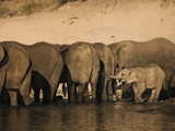 Elephants (Loxodonta Africana) in Chobe River, Botswana, Africa Photographic Print by Kim Walker