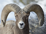 Bighorn Sheep (Ovis Canadensis) Ram, Yellowstone National Park, Wyoming, Photographic Print