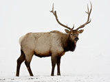Bull Elk (Cervus Canadensis) in Snow, Yellowstone National Park, Wyoming Photographic Print