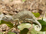 Chameleon With Rolled Tail on Shrub, Tanzania, East Africa, Africa Photographic Print