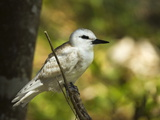 Large White Tern (Gygis Alba) Chick, Lord Howe Island, New South Wales, Australia Photographic Print