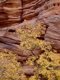 Yellow Maple Against a Red Rock Canyon Wall in the Fall, Zion National Park, Utah, USA Photographic Print