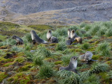 Antarctic Fur Seals (Arctocephalus Gazella), Husvik Island, Antarctic, Polar Regions Photographic Print by Thorsten Milse