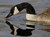 Canada Goose With Reflection While Swimming and Drinking, Denver City Park, Denver Photographic Print