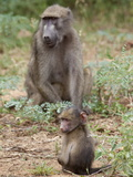 Young Chacma Baboon (Papio Cynocephalus Ursinus), Kruger National Park, Mpumalanga, South Africa Photographic Print by Ann & Steve Toon