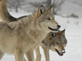 Two Gray Wolves (Canis Lupus) in the Snow in Captivity, Near Bozeman, Montana Photographic Print
