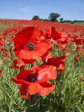Poppies (Papaver Hoeas), Near Barrasford, Northumberland, England, Uk Photographic Print by Ann & Steve Toon