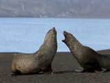 Antarctic Fur Seals (Arctocephalus Gazella), Deception Island, South Shetlands, Antarctic Photographic Print by Thorsten Milse