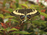 Swallowtail Butterfly (Papilionidae) Photographic Print by Raj Kamal