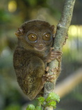 Tarsier Fraterculus, the Smallest Living Primate, Tarsier Sanctuary, Philippines Photographic Print