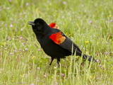 Male Red-Winged Blackbird (Agelaius Phoeniceus) Displaying, San Jacinto Wildlife Area, California Photographic Print