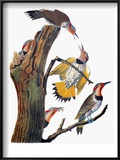 Audubon: Flicker Posters by John James Audubon