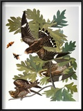 Audubon: Nighthawk Poster by John James Audubon