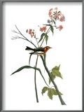 Audubon: Warbler, 1827-38 Prints by John James Audubon
