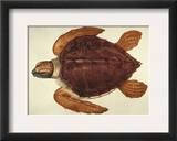 Loggerhead Turtle, 1585 Framed Giclee Print by John White