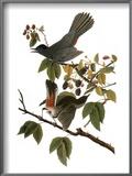 Audubon: Catbird, 1827-38 Prints by John James Audubon