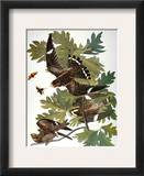 Audubon: Nighthawk Framed Giclee Print by John James Audubon