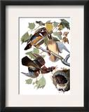 Audubon: Duck Framed Giclee Print by John James Audubon