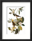 Audubon: Vireo Estampe encadr&#233;e par John James Audubon