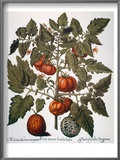 Tomato & Watermelon 1613 Poster by Besler Basilius