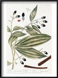Malabar Cinnamon, 1735 Prints by Elizabeth Blackwell