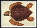 Loggerhead Turtle, 1585 Prints by John White