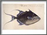 Trigger-Fish, 1585 Prints by John White