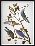 Audubon: Bluebirds Poster by John James Audubon