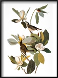 Audubon: Vireo Prints by John James Audubon