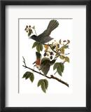 Audubon: Catbird, 1827-38 Estampe encadrée par John James Audubon