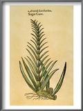Sugar Cane, 1597 Posters by John Gerard