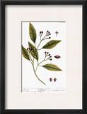 Cloves, 1735 Framed Giclee Print by Elizabeth Blackwell