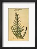 Sugar Cane, 1597 Framed Giclee Print by John Gerard