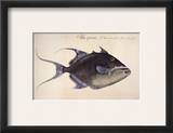 Trigger-Fish, 1585 Framed Giclee Print by John White
