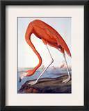 American Flamingo Framed Giclee Print by John James Audubon