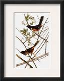 Audubon: Towhee Framed Giclee Print by John James Audubon